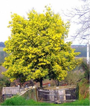 Acacia déalbata, Australie Mimosa des fleuristes