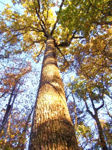 Photo d'un chêne